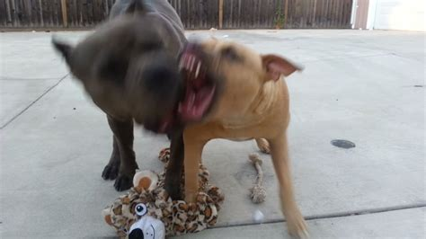 blue nose red nose pit bull puppies fighting youtube