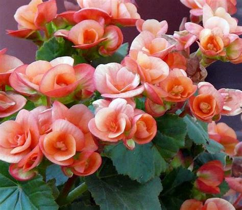 begonia care indoors indoor flowering plants that do not need sunlight