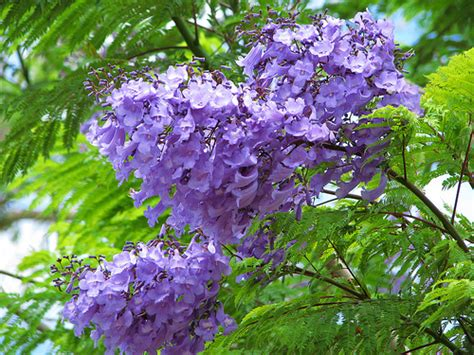 purple flowering tree purple blue flowering trees a gallery on flickr