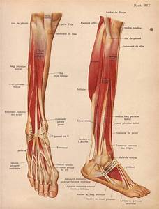 Items Similar To 1905 Leg Muscles  Tendons  U0026 Ligaments