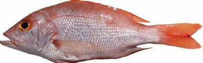 Fish Lutjanus Purpureus Ikan Pescado Pone G083