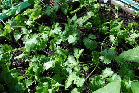 growing cilantro growing cilantro how to grow cilantro planting cilantro