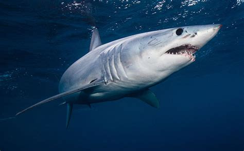 fis shark shark attacks types facts britannica