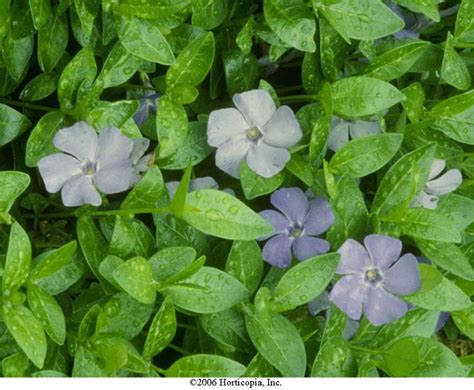 periwinkle perennial beechwood landscape architecture and construction common periwinkle perennial of the day