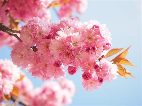 Résultat d'images pour hanami cerisiers image libre