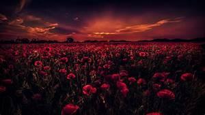 field of poppies uhd 4k wallpaper | HD Wallpapers , HD ...