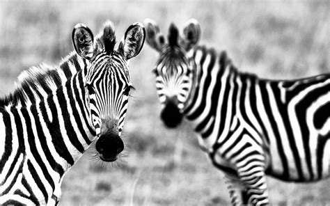 Zebra Animal Wallpaper - zebra desktop wallpapers wallpaper cave