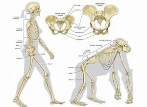Chimpanzee Vs Human Skeleton – defenderauto.info