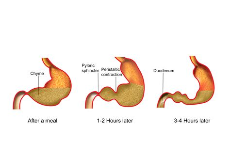 gastro cuisine nroer file image movement of food in stomach
