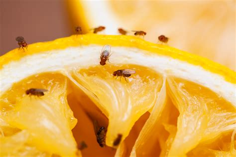 moucherons cuisine fruit fly facts and information terro
