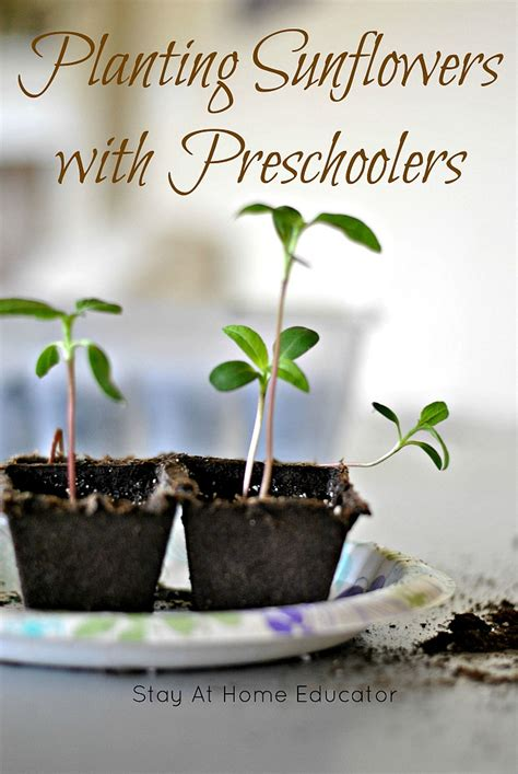 planting and gardening with preschoolers 762 | tips for planting sunflowers in preschool plants and gardening theme Stay At Home Educator
