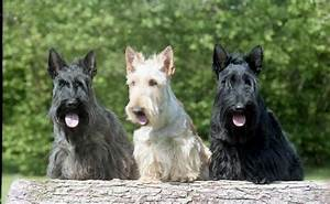 Average Weight And Height Chart Scottish Terrier Dog Breed Information Pictures More