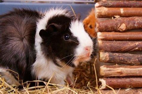 pin   guinea pig board