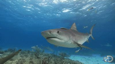 tiger shark discovery channel animals gif  gifer  zular