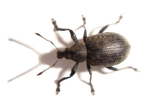 weevil bug weevils or snout beetles curculionidae chris schuster