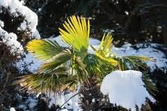 Dahlien Im Topf überwintern : weihrauchpflanze berwintern so kommt sie sicher durch den winter ~ Orissabook.com Haus und Dekorationen