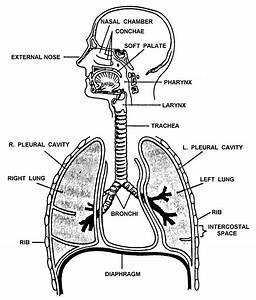 Unlabelled Basic Respiratory System Diagram