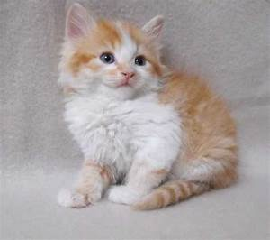 Beautiful Male Fluffy Ginger And White Kittens FOR SALE ...