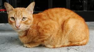 tabby cat orange file kucing belang jingga orange mackerel tabby cat jpg
