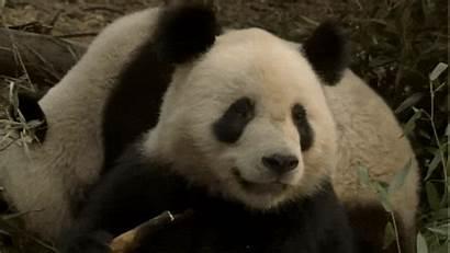 Panda Gifs Pandas Animated Neon Giphy Animals