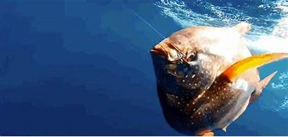 Fish Opah Blooded Warm Discovered Magazine Scientists