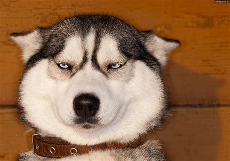 Annoyed Dog Meme - image gallery skeptical husky