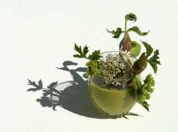 la cuisine des plantes sauvages lepidium draba archives sos soil