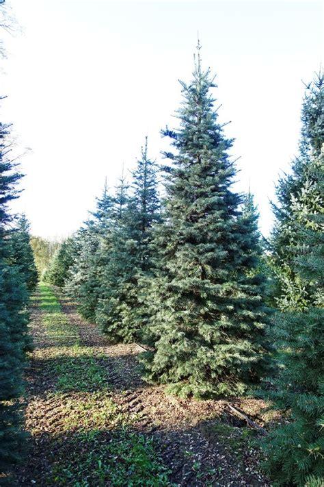 Vienkrāsas baltegle / Abies concolor - Have a Tree
