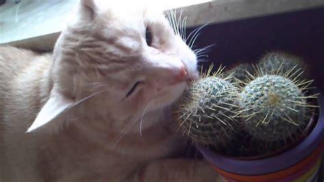 Cat Eating Cactus, Śierściuch The Cat