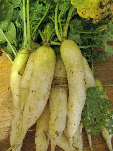 cuisiner les patissons blancs recettes des radis blancs les pâtissons du montois