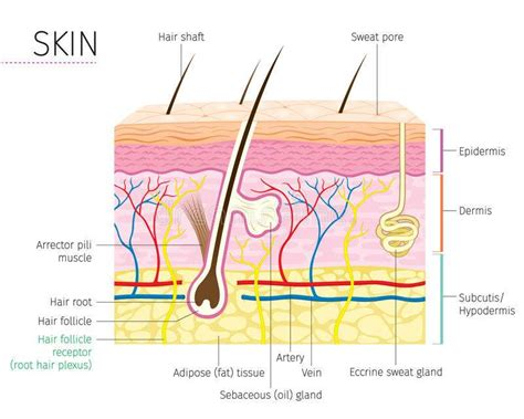 Diagram Of To by Diagram Of The Skin