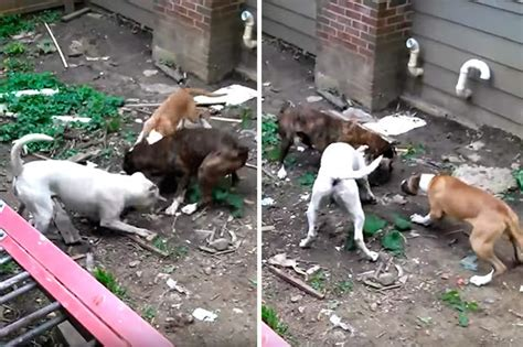 animal news  pack  dogs attack racoon  shocking