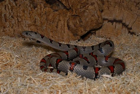 snakes as pets pet snakes what to know before getting one fun animals wiki videos pictures stories