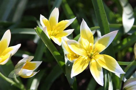 17 best images about beautiful bulbs on lilies