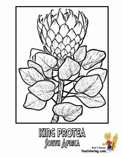 African Coloring Flower Pages Flowers Africa South
