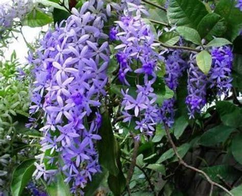 macam macam tanaman bunga merambat   diminati