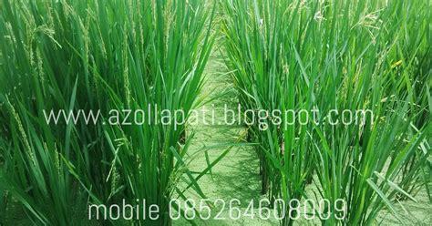 azolla  emas hijau azolla  pupuk tanaman padi