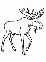 Moose Coloring Pages Drawing Cute Printable Antler Drawings Funny Draw Animal Christmas Elg Cartoon Colouring Printables Deer Animals Stencils Google sketch template