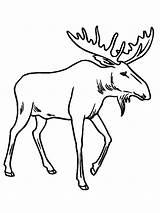 Moose Coloring Drawing Printable Funny Antler Animal Antlers Forest Getdrawings Elg Deer Uniquecoloringpages sketch template