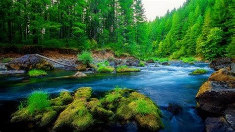 Green Pine Forest River Rock Beautiful Nature Hd Wallpaper