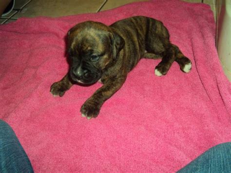 cute dogs brindle boxer puppies