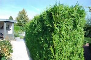 Thuja Smaragd Wachstum : lebensbaum brabant ~ Michelbontemps.com Haus und Dekorationen