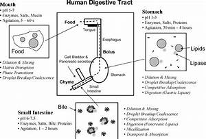 Highly Schematic Diagram Of The Human Digestive System And
