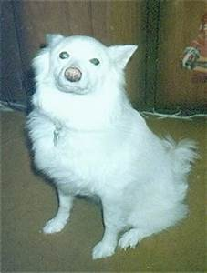 Japanese Spitz Dog Breed Pictures, 1