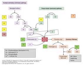 download the coagulation cascade pdf coagulation cascade pdf file size ... Coagulation Factors