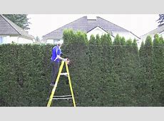 Trimming Your Thuja Green Giant Hedge – Thuja Green Giant