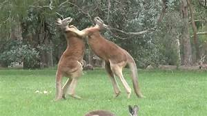 Kick Boxing Kangaroos - YouTube