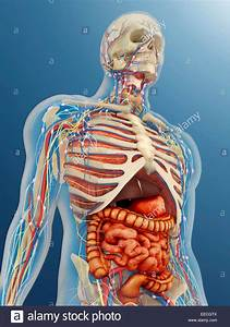 Transparent Human Body With Internal Organs  Nervous