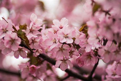 Cherry Blossom Image by 1000 Interesting Cherry Blossom Photos 183 Pexels 183 Free