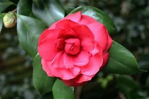 Camellia Japonica Winterhart : steve 39 s genealogy blog documenting my family history ~ Eleganceandgraceweddings.com Haus und Dekorationen